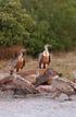 Gobierno Vasco y Diputaciones Forales intensifican la protección a quebrantahuesos,  alimoches y buitres leonados