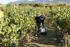 La_consejera_de_Desarrollo_Econ_mico__Sostenibilidad_y_Medio_Ambiente__Arantxa_Tapia__visita_la_Rioja_alavesa_con_motivo_de_la_campa_a_de_la_vendimia20200929_5287.jpg