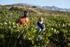 La_consejera_de_Desarrollo_Econ_mico__Sostenibilidad_y_Medio_Ambiente__Arantxa_Tapia__visita_la_Rioja_alavesa_con_motivo_de_la_campa_a_de_la_vendimia20200929_5525.jpg