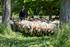 Oto ovejas neiker